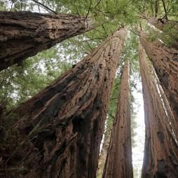 Sequia óriásfenyők, 100 m magasra nőnek (redwood fenyő)