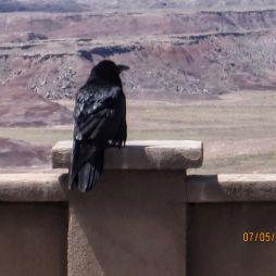 A holló. Egy vérbeli túlélő. IQ-ja a legmagasabb a madarak között.