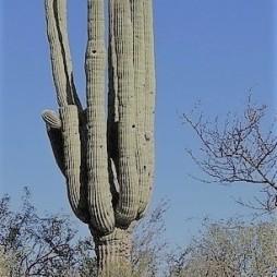 Saguaro kaktusz, a teljes virágzást lekéstük