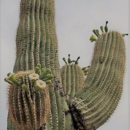 Saguaro kaktusz némi virággal